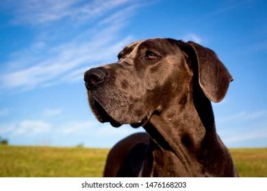 A beautiful blue great Dane in profile looking left