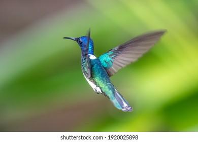 beautiful blue green hummingbird flying over a tropical orange flower kniphofia