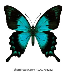Beautiful blue to green turqouise butterfly the Sea Green Swallowtail butterfly in natual color upper profile isolated on white background, Papilio lorquinianus