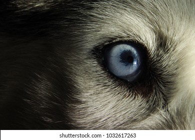 A beautiful blue husky eye.