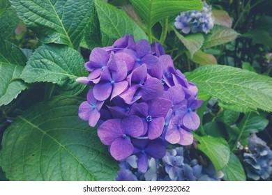 Beautiful blue hydrangea flower in the garden