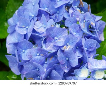 Beautiful blue hydrangea flowers in full bloom