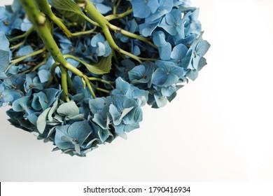 beautiful blue hydrangea flowers plant