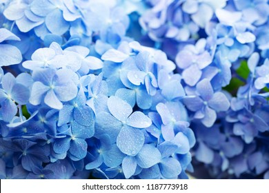 Beautiful Blue Hydrangea (Hydrangea macrophylla) or Hortensia flower with dew in slight color variations ranging from blue to purple. Shallow depth of field for soft dreamy feel.