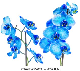 Beautiful Blue inked Orchid white background isolated closeup macro