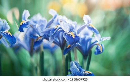 Beautiful blue irises on a blurred green natural background. spring mood
