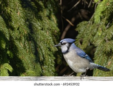 """""""Beautiful Blue Jay"""" Another occasional visitor to our backyard, although this one was unusually relaxed and quiet."""