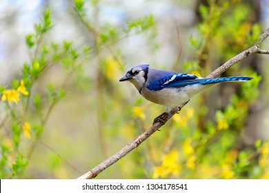 A beautiful blue jay bird perched on a branch with early spring greenery and flowers in the background