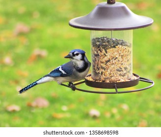 A beautiful Blue Jay enjoying some birdseed from the bird feeder.