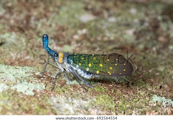 Beautiful blue lantern bugs