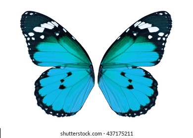 Beautiful blue monarch butterfly wings isolated on white background.