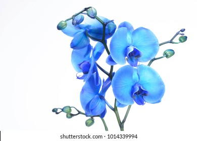 A beautiful blue orchid standing against a white background. The filigree colorful blue exotic flower has blossomed and is a symbol of life, art and the everlasting.