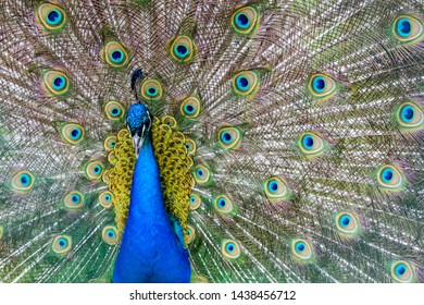 beautiful blue peacock with an open colorful tail