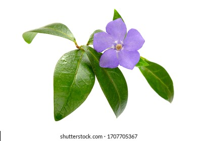 Beautiful blue periwinkle flower with green leaves isolated on a white background. Periwinkle isolated on white. Beautiful blue periwinkle flower with green leaves on white.