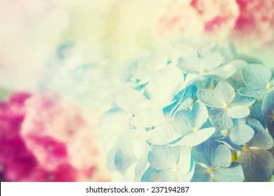 Beautiful blue and pink hydrangea.