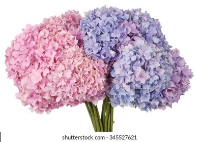 Beautiful blue and pink hydrangeas flower background. Natural color. Clipping path inside