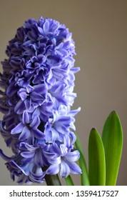 beautiful blue (purple) hyacinth on a beige background, vertical flower arrangement