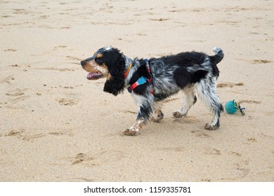 Blue Roan Cocker Spaniel Images, Stock Photos & Vectors