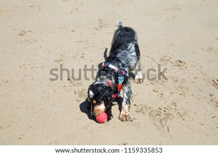 Beautiful Blue Roan Cocker Spaniel Puppy Stock Photo (Edit Now
