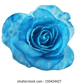 beautiful blue rose with water drops surface close up macro shot  isolated on white background