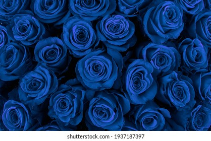 Beautiful blue roses, floral background.