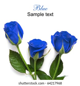 Beautiful blue roses isolated on white for your design