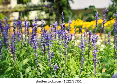 Beautiful blue Salvia (salvia farinacea) flower blooming in outdoor garden with blurred background.Purple Salvia is herbal plant in the mint family.Botanical,natural,Herb and flower concept.