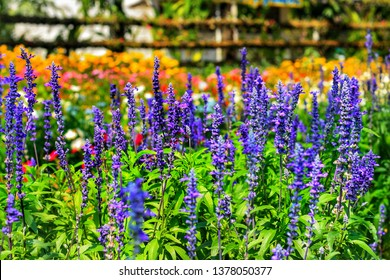 Beautiful blue Salvia (salvia farinacea) flower blooming in outdoor garden with bokeh background.Purple Salvia is herbal plant in the mint family.Botanical,natural,Herb and flower concept.Vivid shade.