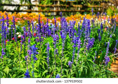 Beautiful blue Salvia(salvia farinacea) flower blooming in outdoor garden.Purple Salvia is herbal plant in the mint family.Botanical,natural,Herb and flower concept.Vivid shade.