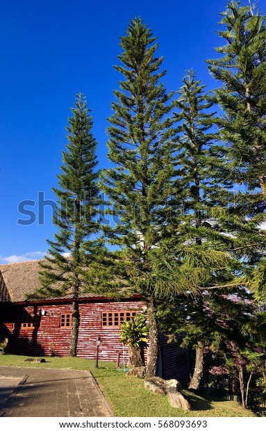 Beautiful blue sky and pine tree at national park.