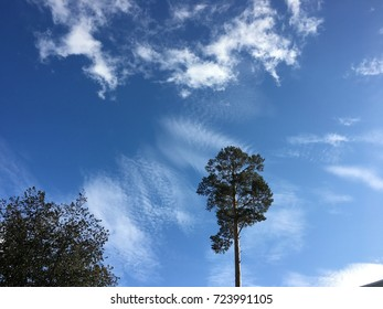 Beautiful blue sky and silent pine tree