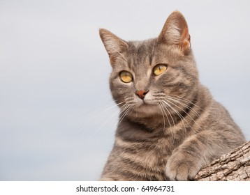 Beautiful blue tabby kitty cat resting on a log watching attentively