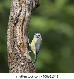 Beautiful Blue Tit Cyanistes Caeruleus on tree in forest landscape setting