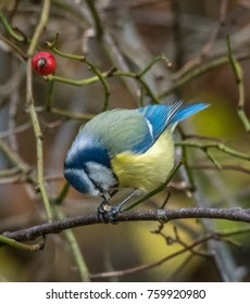 Beautiful Blue Tit sitting on branch eating a peanut
