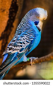 Beautiful blue and white budgie.