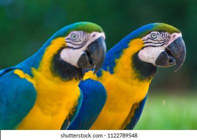 Beautiful Blue-and-yellow Macaw (Ara ararauna) in the Brazilian wetland.