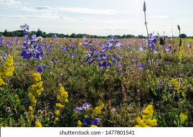 Beautiful Bluebell flowers close up in a summer field at the island Oland in Sweden