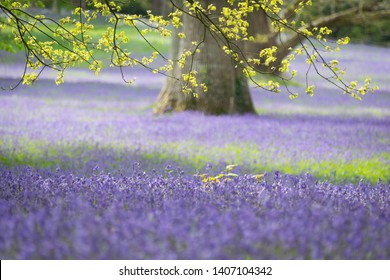 Beautiful bluebell woods in England
