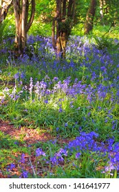 Beautiful bluebells forest  in the afternoon light