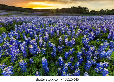 Beautiful Bluebonnets field at sunset near Austin, Texas in spring