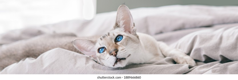Beautiful blue-eyed oriental cat lying resting on bed at home looking away. Fluffy hairy domestic pet with blue eyes relaxing at home. Adorable furry animal feline friend. Web banner header.