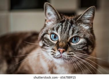 Beautiful blue-eyed Siamese tabby cat mix looking at camera