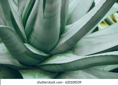 The beautiful blue-green of an agave cactus