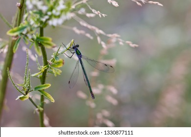 A beautiful blue-green damselfly hanging on a herbal plant (insects of Western Siberia).