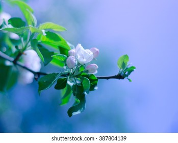 Beautiful blurred apple-tree flowers in the morning mist and in the sunshine (shallow DOF, with focus on the petals)