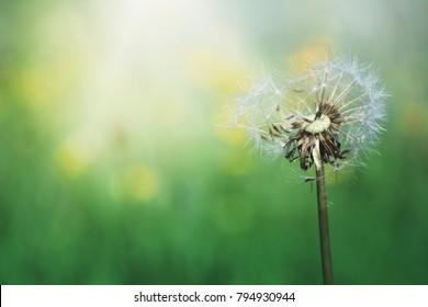 Beautiful blurred dandelion flowers spring background.