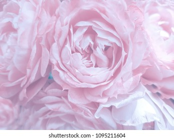 Beautiful blurred rose petals, flowers made with color filters in soft color blur style vintage for background.