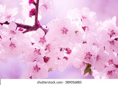 Beautiful blurred sakura flowers in the morning mist (shallow DOF)