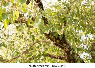 Beautiful Bo Tree And Bo Leaves In Ceylon 2019