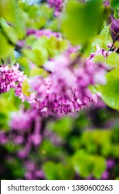 Beautiful bokeh surrounding Cercis siliquastrum commonly known as the Judas tree or Judas-tree branch in bloom it is a small deciduous tree from Southern Europe and Western Asia which with deep pink